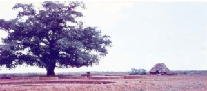 banyan tree site